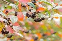 De herfstachtergrond met bessen Stock Foto