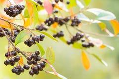 De herfstachtergrond met bessen Stock Fotografie