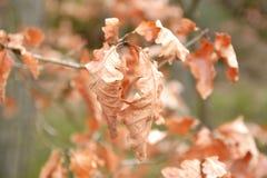 De herfstachtergrond met beukbladeren Stock Foto's
