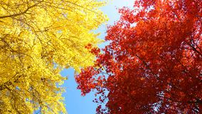 De herfstachtergrond met esdoorn en gingobladeren Royalty-vrije Stock Fotografie