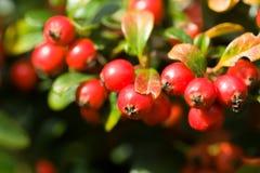 De herfstachtergrond met rode gaultheria Stock Foto