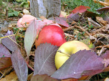 De herfstappel Stock Foto's