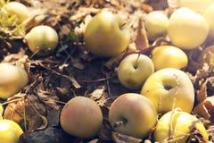 De herfstappelen Stock Afbeelding
