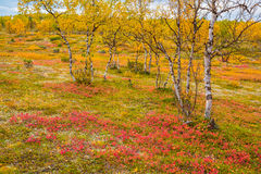 De herfstberken royalty-vrije stock afbeeldingen