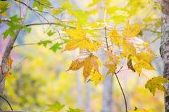 De herfstblad in Japan met gele en oranje colo Royalty-vrije Stock Foto's