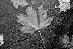 De herfstblad op asfalt De Zwart-witte foto van Peking, China royalty-vrije stock afbeeldingen