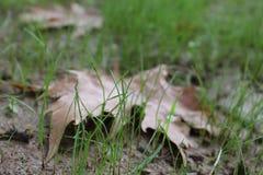 De herfstblad op een klein groen gras Stock Afbeeldingen
