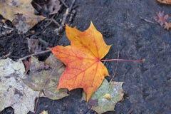 De herfstblad in rood en gouden Royalty-vrije Stock Foto's