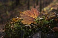 De herfstblad in de zon stock foto