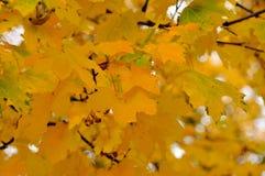 De herfstbladeren. Royalty-vrije Stock Foto