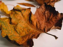 De herfstbladeren - Bruin de herfstblad royalty-vrije stock afbeelding