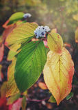 De herfstbladeren in de stralen van de het plaatsen zon Royalty-vrije Stock Foto's