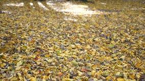 De herfstbladeren die in herfstpark vallen stock video