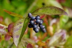 De herfstbladeren en bessen van Amur-Liguster Ligustgrum Obtusifolium stock foto's