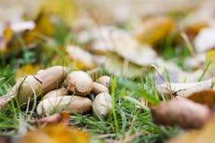 De herfstbladeren, gras, grond en eikels Stock Foto