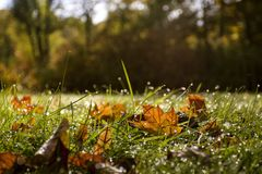 De herfstbladeren, gras met dalingen in de ochtend Stock Afbeeldingen