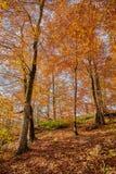 De herfstbladeren in het bos Stock Foto's