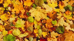 De herfstbladeren in het meer stock video