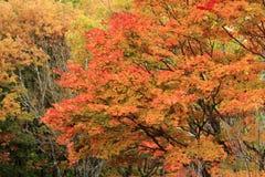De herfstbladeren in Kiyosato-hoogland, Yamanashi stock fotografie