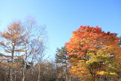 De herfstbladeren in Kiyosato-hoogland, Yamanashi royalty-vrije stock fotografie