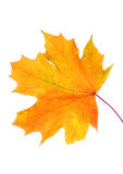 De herfstbladeren met exemplaarruimte die worden geïsoleerd Stock Fotografie