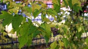 De herfstbladeren met kleine insecten, bladeren die in de wind slingeren stock video