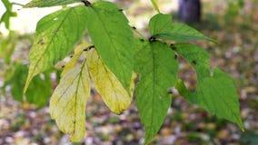 De herfstbladeren met kleine insecten, bladeren die in de wind slingeren stock videobeelden