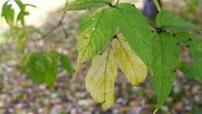 De herfstbladeren met kleine insecten, bladeren die in de wind slingeren stock footage