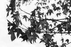 De herfstbladeren op takken van Boom Stock Fotografie