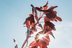De herfstbladeren tegen de blauwe hemel in de stralen van de zon Kleurrijk gebladerte in het de herfstpark stock foto's