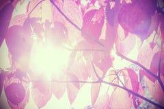 De herfstbladeren tegen zon, wijnoogst gefiltreerde aardachtergrond Royalty-vrije Stock Fotografie