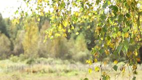 De de herfstbladeren van berk kronkelen zich op de wind stock video