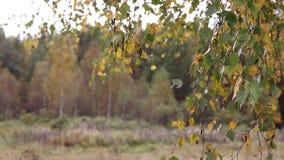 De de herfstbladeren van berk kronkelen zich op de wind stock videobeelden