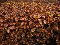 De herfstbladeren van de beuk Stock Fotografie