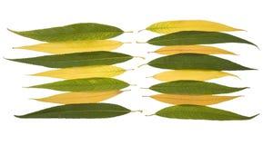 De herfstbladeren van de inzameling van het huilen van wilg Royalty-vrije Stock Fotografie