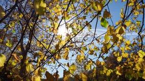 De herfstbladeren van een kalk-boom stock footage