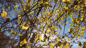 De herfstbladeren van een kalk-boom stock video