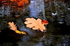 De herfstbladeren van eik Stock Foto