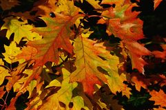 De de herfstbladeren van noordelijke rode eiken boom, riepen ook kampioen eiken, Latijnse naamquercus Rubra, die palet van kleure stock foto