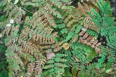 De herfstbladeren van wilde varen Stock Afbeelding