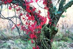 De herfstbladeren van Wilde wingerd Stock Foto