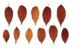 De herfstbladeren van zelkova op witte achtergrond Stock Foto's
