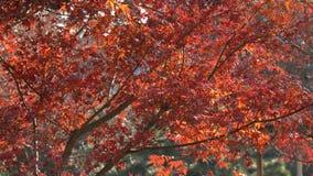 De herfstbomen bij park in Tokyo, Japan stock footage