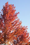 De herfstbomen, blauwe hemel Stock Afbeelding