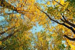 De herfstbomen - de oranje bovenkanten van de herfstbomen tegen blauwe hemel De herfst natuurlijke mening van de herfstbomen Royalty-vrije Stock Afbeeldingen