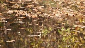 De herfstbomen die in water nadenken stock videobeelden