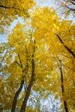 De herfstbomen, gele bladeren op bomen, de herfstlandschap, de herfst p Stock Afbeeldingen