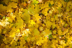 De herfstbomen, gele bladeren op bomen, de herfstlandschap, de herfst p Royalty-vrije Stock Foto