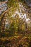 De herfstbomen in het bos bij zonsondergang Stock Afbeeldingen