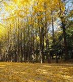 De herfstbomen in het park Royalty-vrije Stock Afbeeldingen